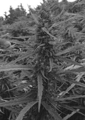 Hemp Plant Patent