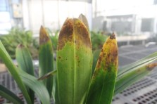 Leaf tip burn on Masdevallia orchid