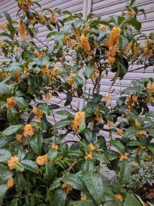 スミス英会話 京橋校 ブログ:美しいキンモクセイの花