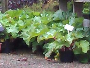 Rabarber i potte, klar til salg