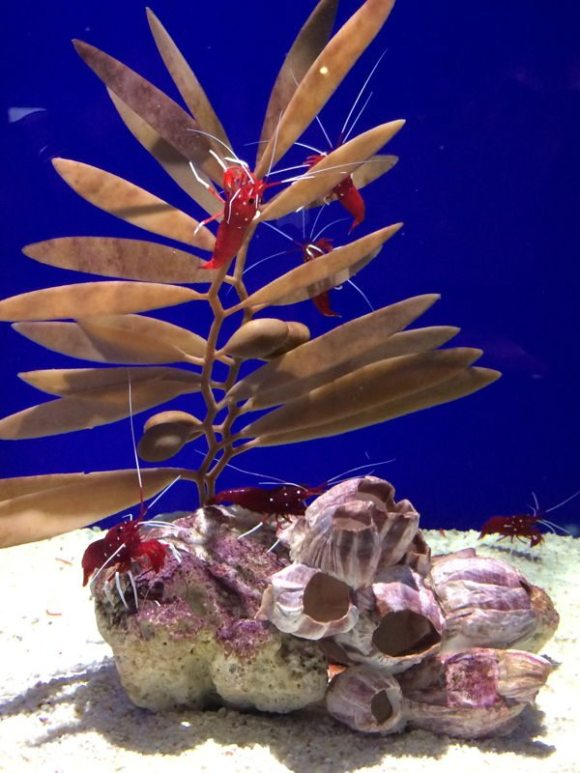 bright red crabs in a tank