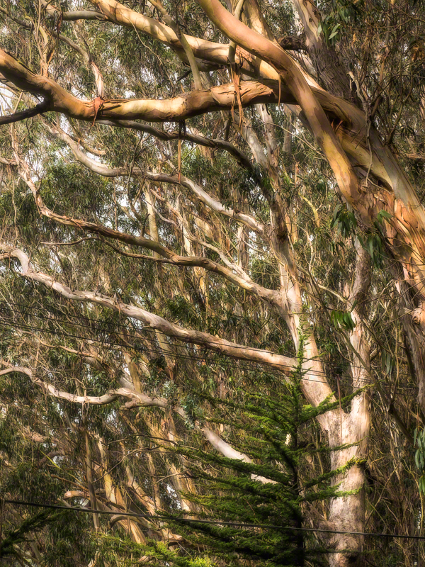 06_eucalyptus_ladder