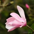02_magnolias_SMKanePhot