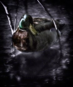 Stow Lake mallard, twilight