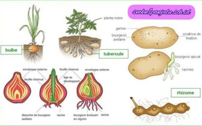 Cara Memelihara Bibit Hasil Pembiakan Tanaman Secara Vegetatif