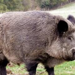 Alerta de pesta porcina! Caz pozitiv la un mistret la 50 de km de Satu Mare