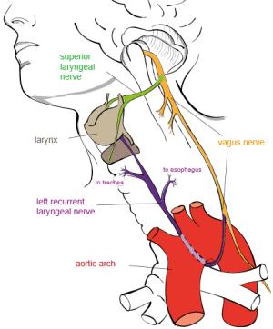 """Recurrent laryngeal nerve"" by Jkwchui - Based on drawing by Truth-seeker2004."