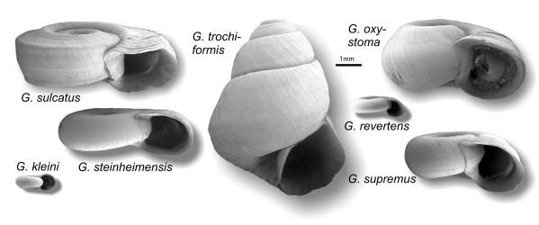 Tellerschnecke Gyraulus
