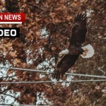 Two Bald Eagle Sightings In Robertson County Friday