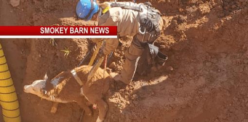 Calves Rescued From Huge Sinkhole Off William Woodard Rd