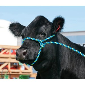 357900H5_cattle rope halter in use_a