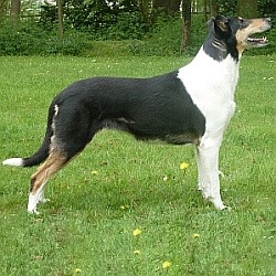 A Tricolour Smooth Collie
