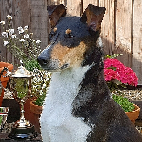 Hero the Smooth Collie tri bitch