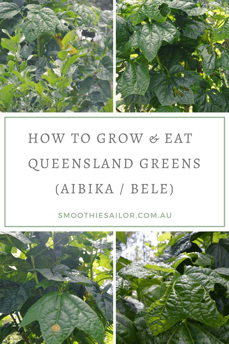 Growing And Eating Aibika Or Queensland Greens Abelmoschus Manihot