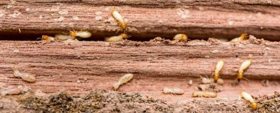 termites image