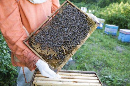 carpenter bees image
