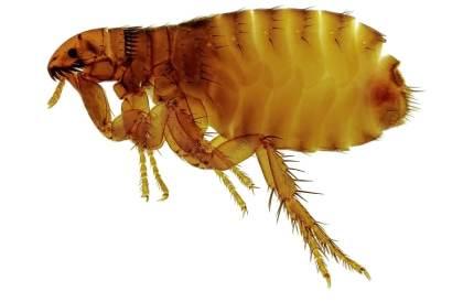 flea image