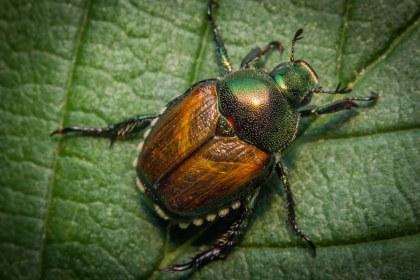 japanese beetle image