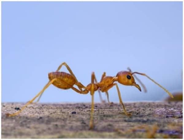 citronella ants featured image