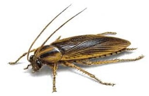 german cockroaches featured image