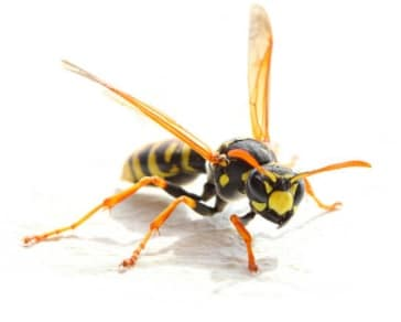 wasps vs bees featured image
