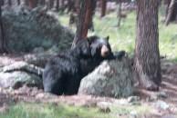 Older Bear