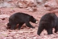 Jr Bears