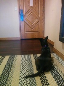 Small black dog sitting on patterned rug staring at hotel room door, waiting for her person to return