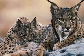 Lynx pardinus-2