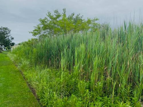 A wall of phrag steadily choking out the native beach grass, beach plum, and seaside goldenrod that were planted as part of a prior mitigation effort.