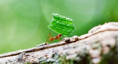 ant carrying large leaf