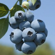 European-Bilberry-