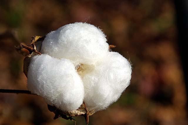 ギザ綿 (GIZAコットン)