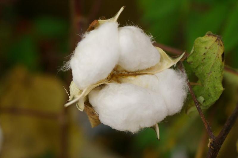 スーピマ綿(アメリカ)