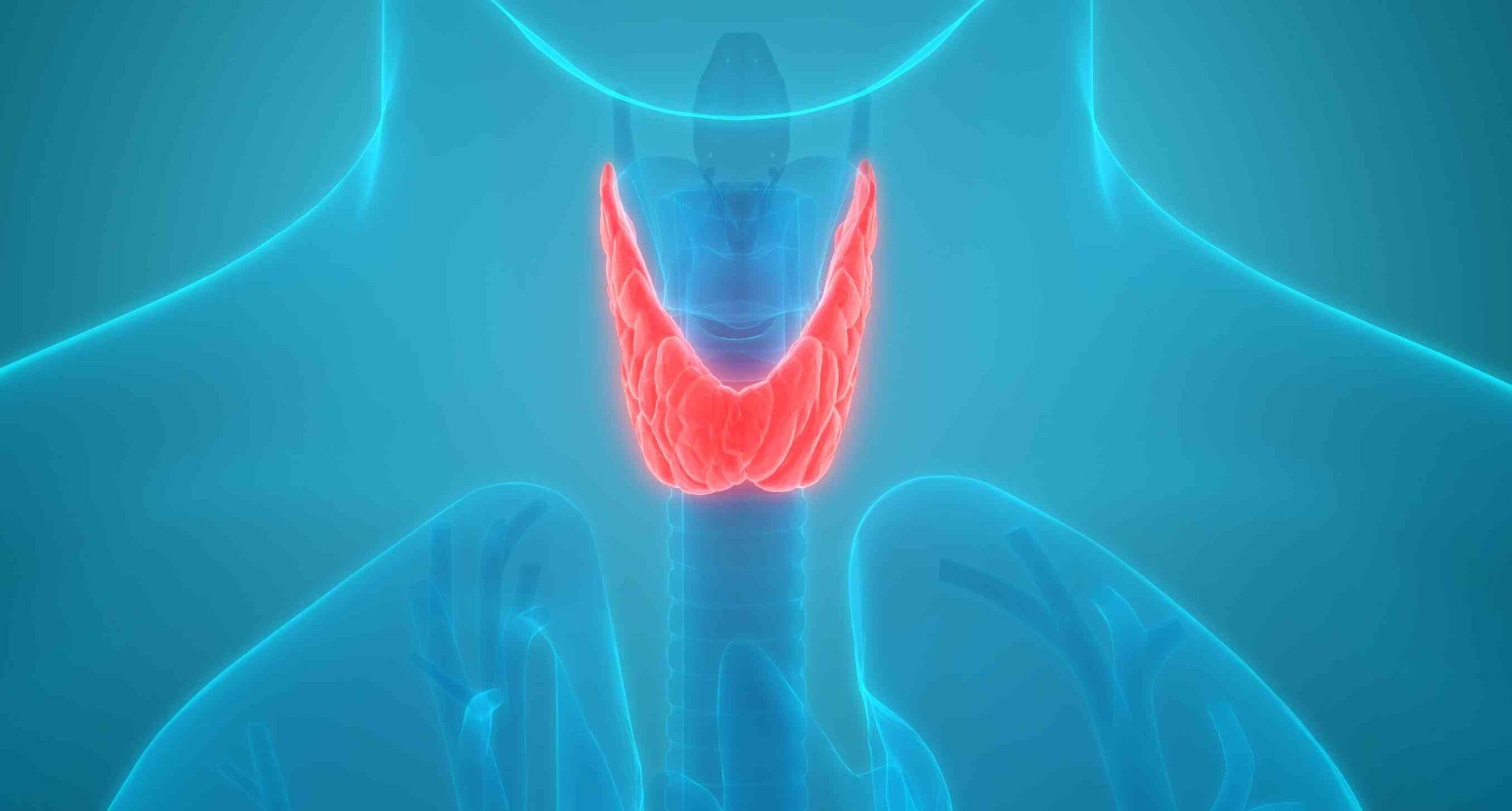 Что делает щитовидная железа