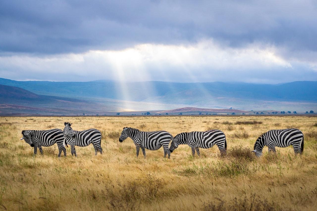 Почему кожа зебры полосатая