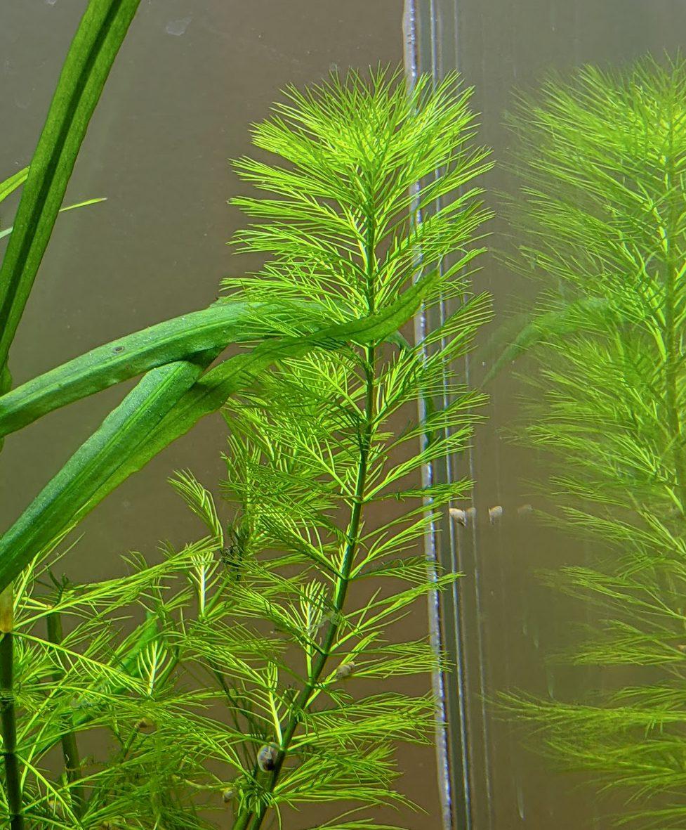 Mermaid Weed- (Proserpinaca palustris)