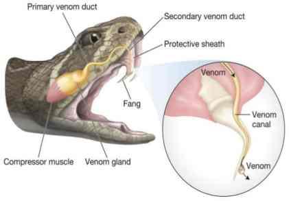 Image result for snake fangs