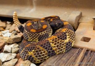 Timber Rattlesnake by Matthew J. Sullivan