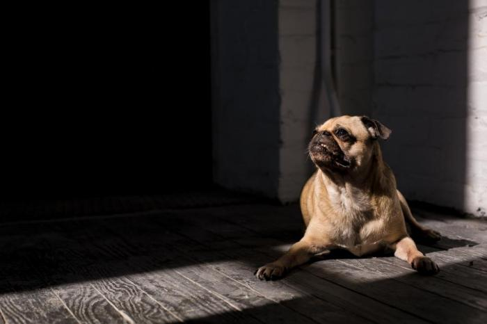 pug, dog, pet, animals, shadow, looking