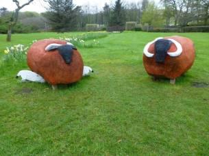 Blackfaced Sheep -Stornoway