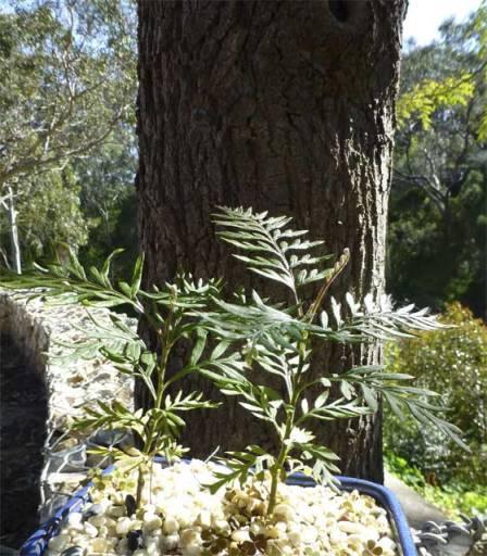 Young Silky Oak -Grevillea Robusta