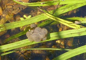 Frog Spawn .... I think