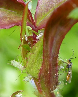 Aphids and a wasp