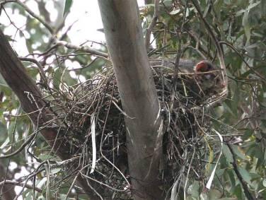 Possum - intruder in the Magpies' nest