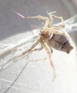 Tiny white spider