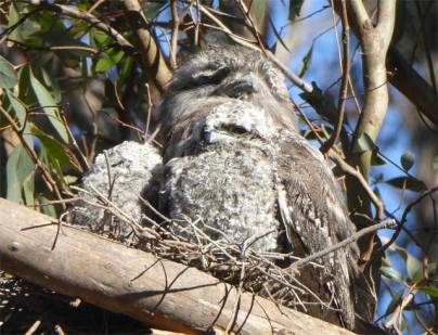Tawny Frogmouth and chicks