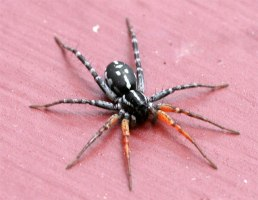 spider-black-white