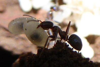 Ant with egg