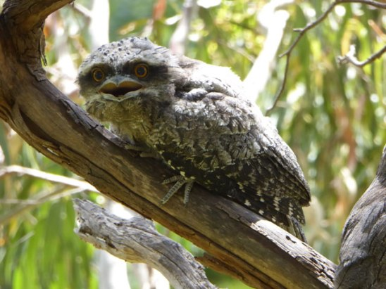 Baby Frogmouth